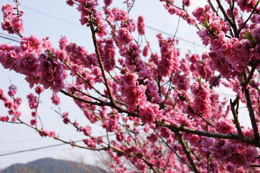 花桃の花・夕景