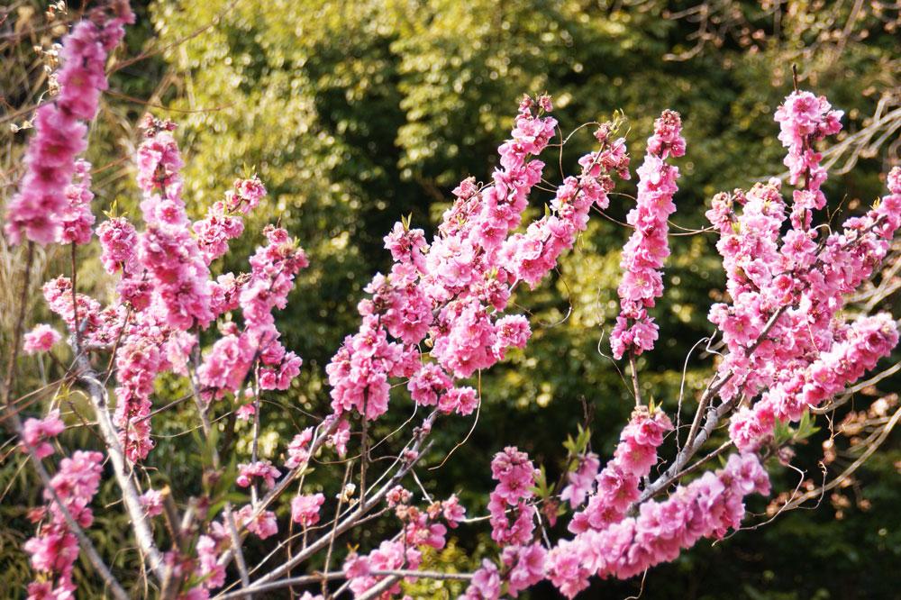 花桃の花夕景